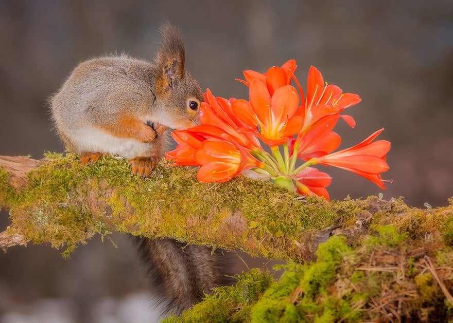 Red Squirrel Smelling Flowers