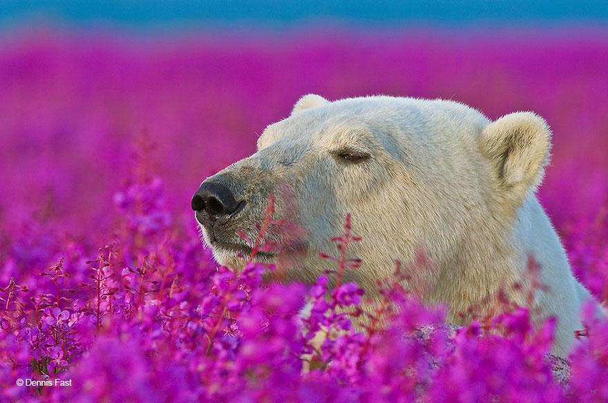 Polar Bear Smelling Flowers