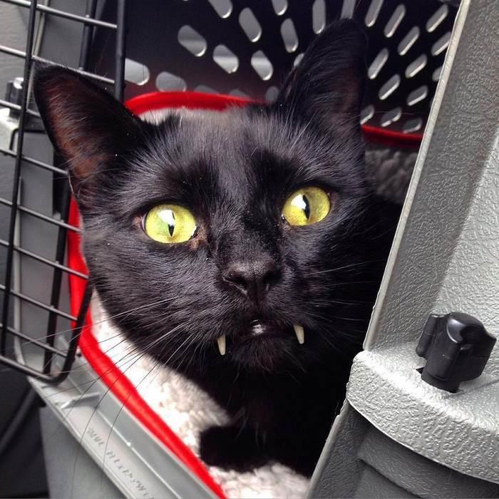 black-cat-vampire-teeth-monkey-2