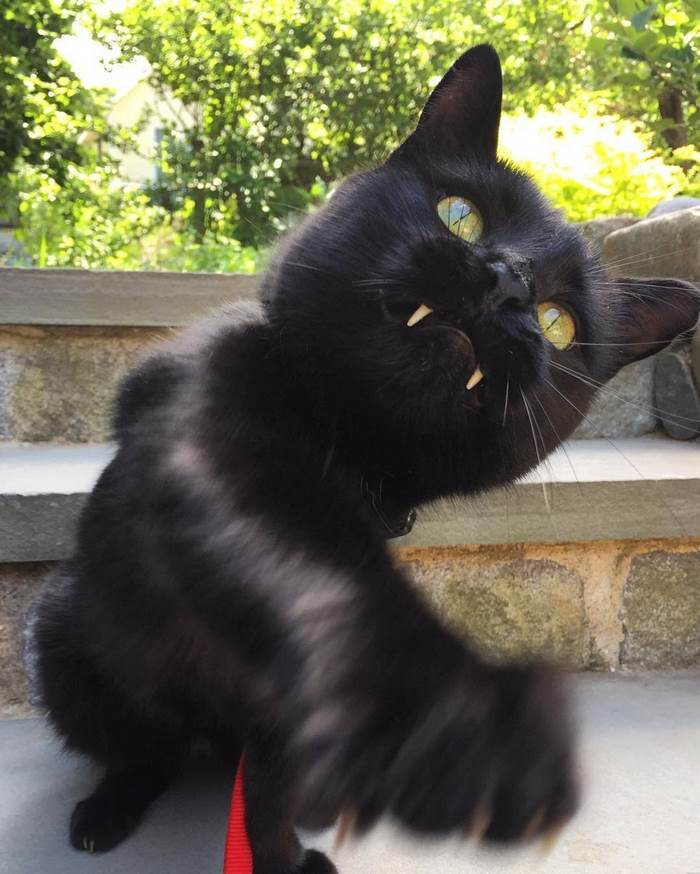 black-cat-vampire-teeth-monkey-3