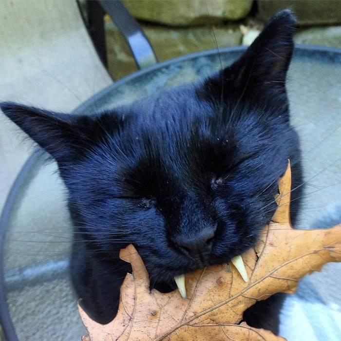 black-cat-vampire-teeth-monkey-9