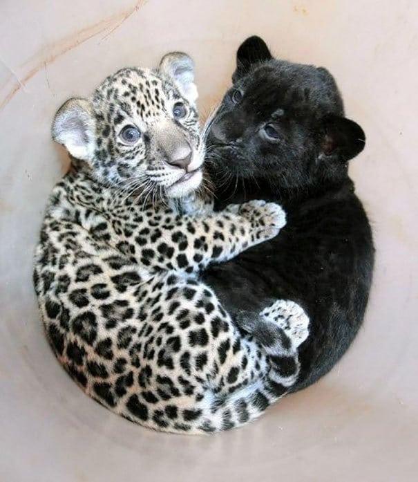 Для ребенка Jaguar Cuddling с ребенком Panther