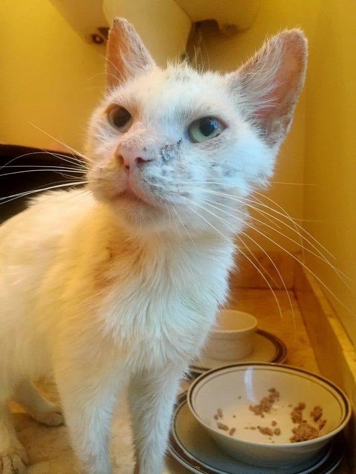 слеп-спасательных-кошка-чесотка-разные цветом глаза хлопок-10