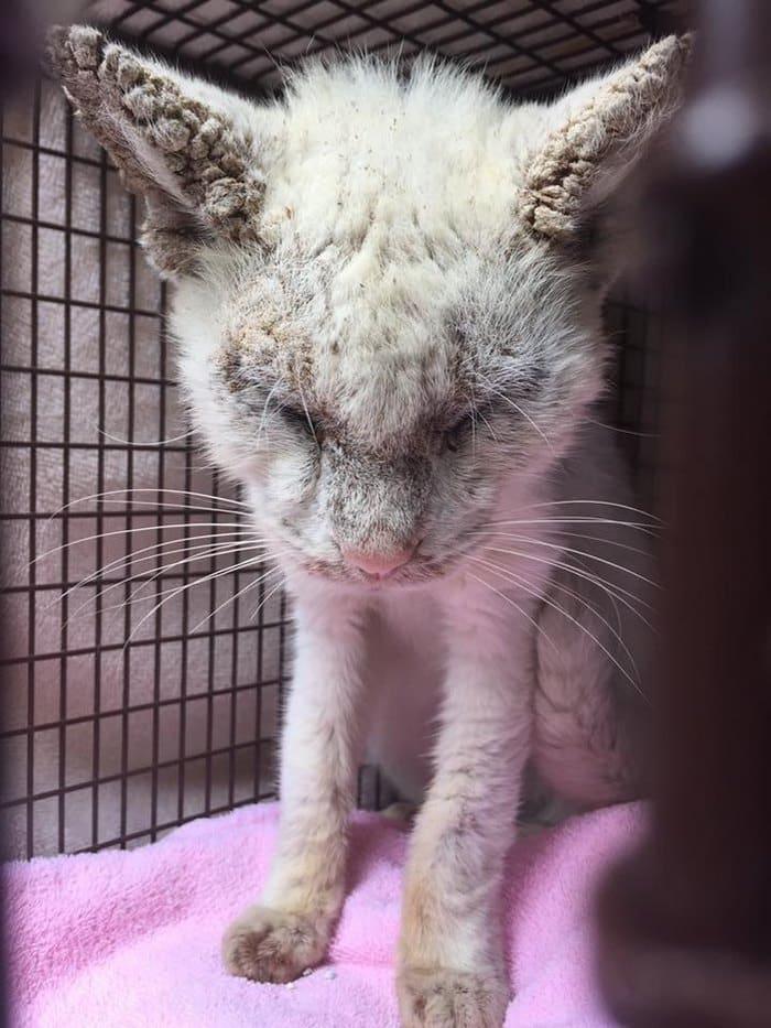 слеп-спасательных-кошка-чесотка-разные цветом глаза хлопок-5