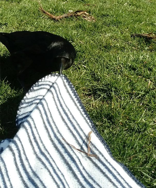 Yesterday A Crow Tried To Steal My Picnic Blanket And I Didn