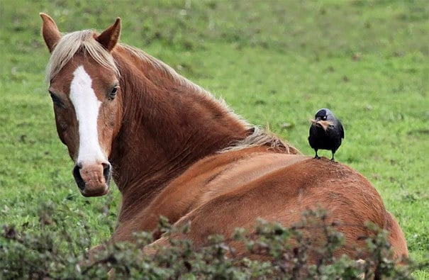 This Jackdaw Pinching Hair From A Horse
