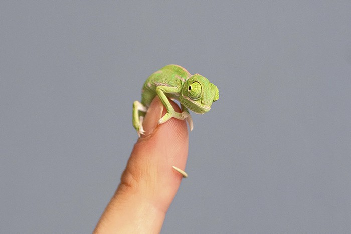 Newly Hatched Baby Chameleon