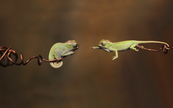 Two baby chameleons reaching out to each other