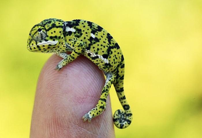 Newly Hatched Baby Flapneck Chameleon