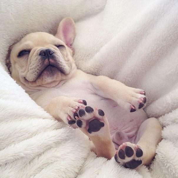 мило-бульдога улыбающаяся-спальный собачьих нарколепсией-frenchiebutt-Милло-11