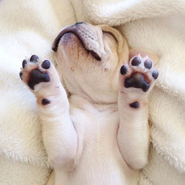 мило-бульдога улыбающаяся-спальный собачьих нарколепсией-frenchiebutt-Милло-17