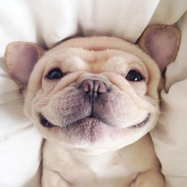 мило-бульдога улыбающаяся-спальный собачьих нарколепсией-frenchiebutt-Милло-2