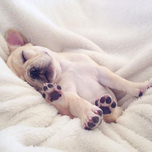 мило-бульдога улыбающаяся-спальный собачьих нарколепсией-frenchiebutt-Милло-24
