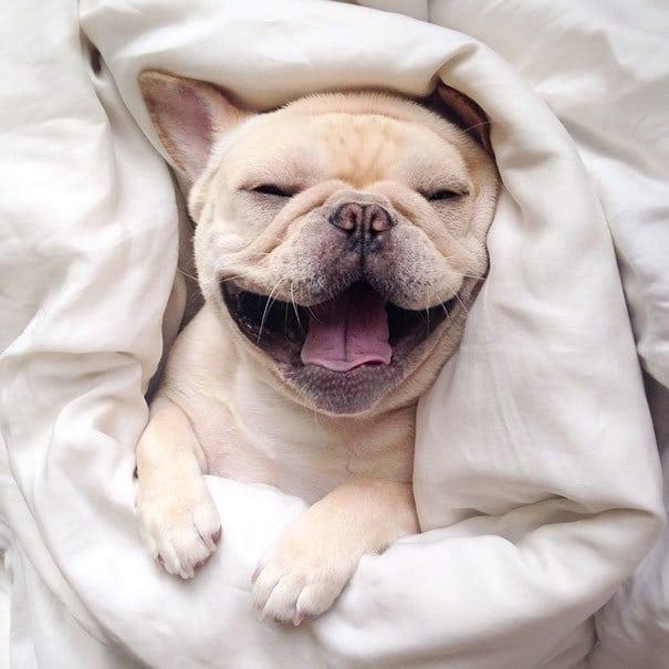 мило-бульдога улыбающаяся-спальный собачьих нарколепсией-frenchiebutt-Милло-28