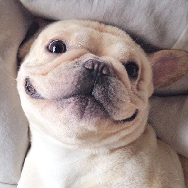 мило-бульдога улыбающаяся-спальный собачьих нарколепсией-frenchiebutt-Милло-34
