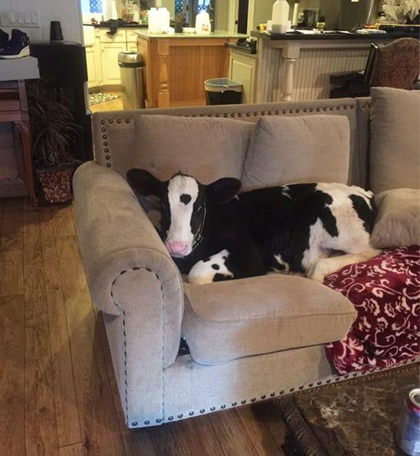 My Cow Thinks He
