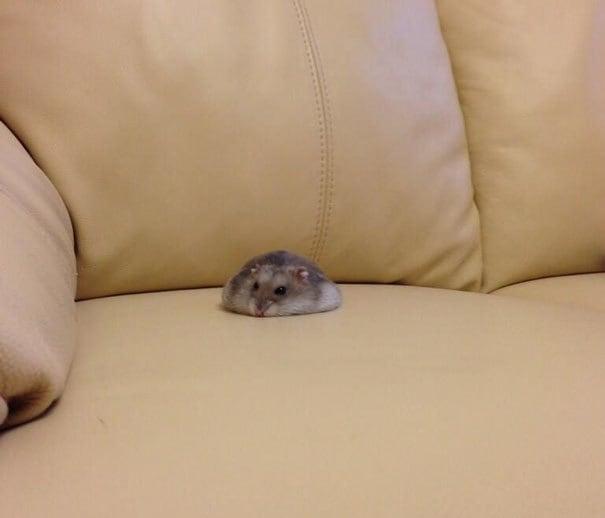 Кто-то проливали Hamster на кушетке