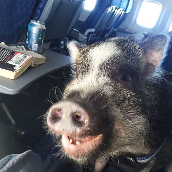 When Pigs Fly? Ha! Hoggin