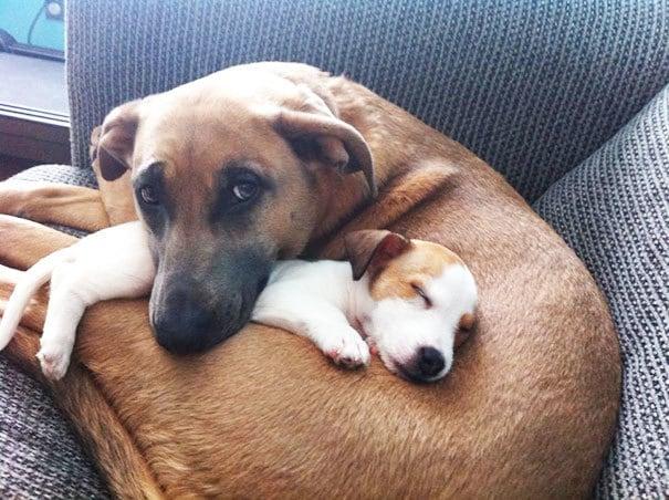 Большая Собака любит ее новый щенок в друзья