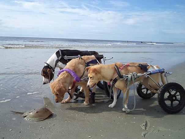 Собаки с ограниченными физическими возможностями не могу понять краба подковы