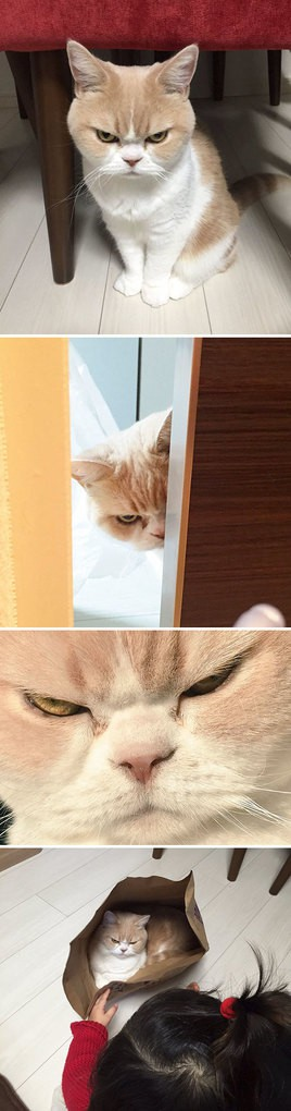Japanese Grumpy Cat