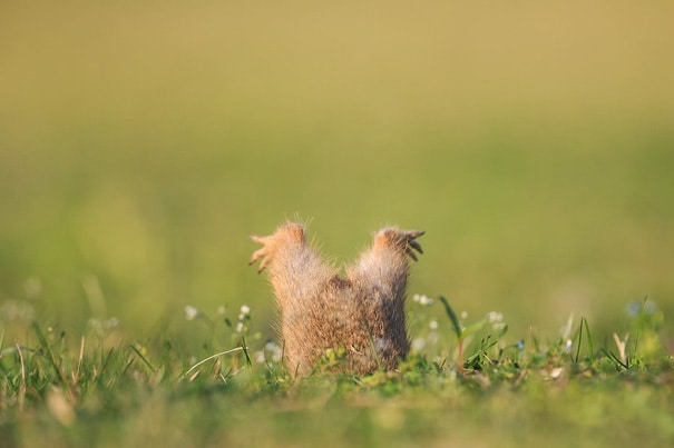 Ground Squirrel Too Fat To Enter His Cave