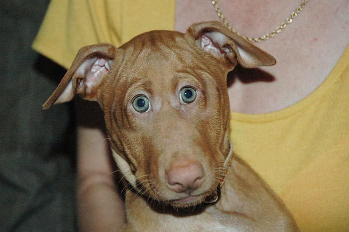 Фараон-хаунд щенок