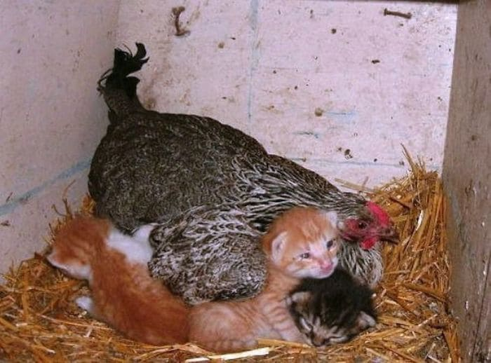 Hen And Her Kittens
