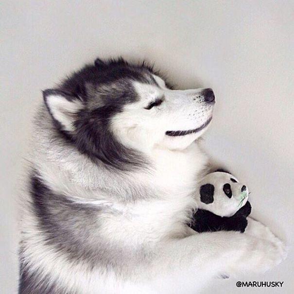 Husky Looks Like Panda