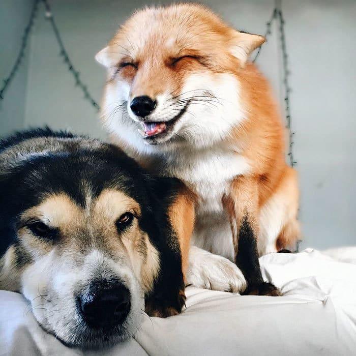 juniper-pet-fox-dog-friendship-moose-2