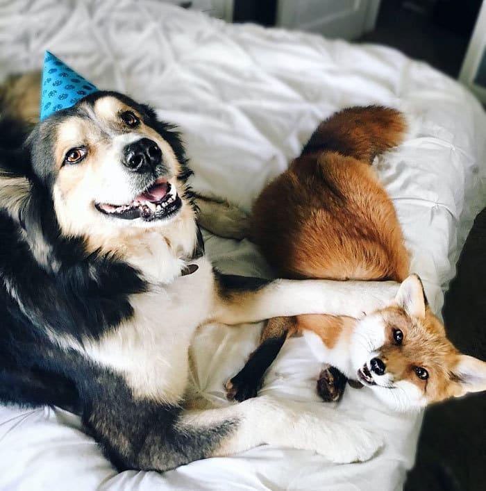 juniper-pet-fox-dog-friendship-moose-5