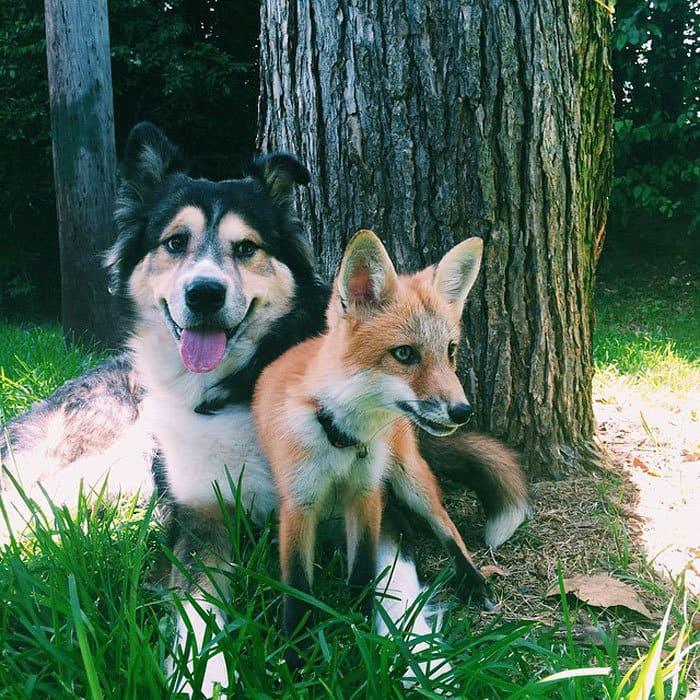 juniper-pet-fox-dog-friendship-moose-9