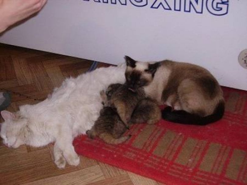Картинки по запросу manul cat kitten