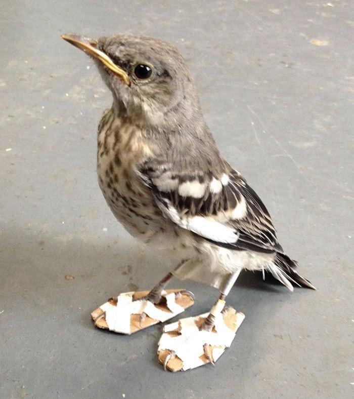 mockingbird-feet-problem-snowshoes-CWC-2