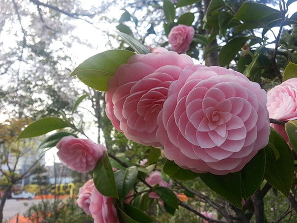 Japanese Flower Phi At Its Finest