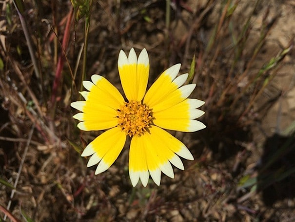 This Flower With Near-Perfect Yellow Circle And White, Daisy Fringe