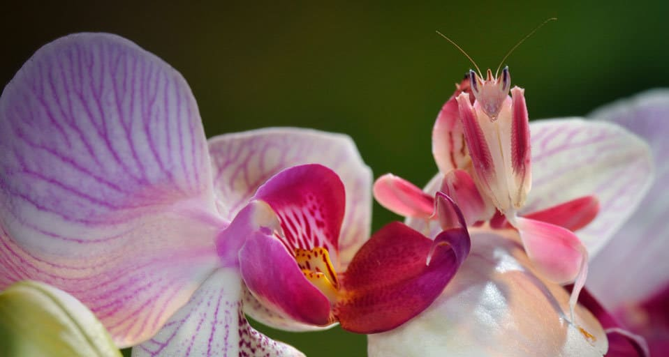 Картинки по запросу Orchid Mantis