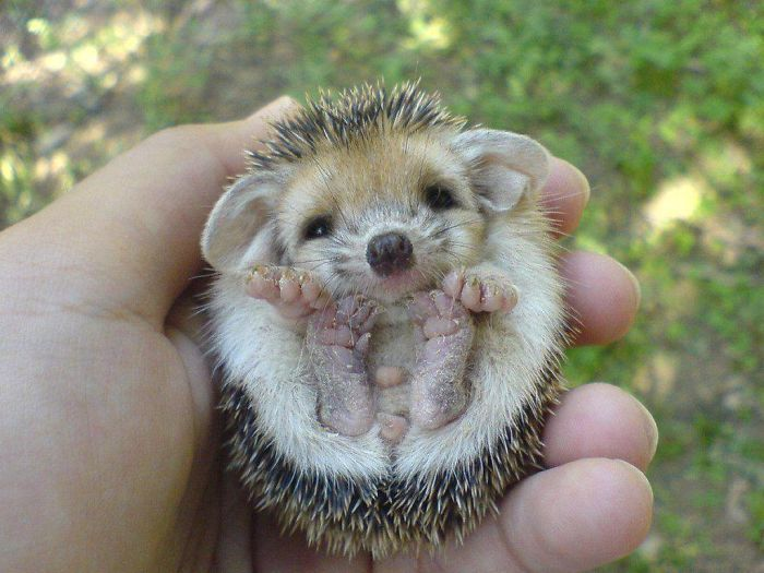 Round Hedgehog