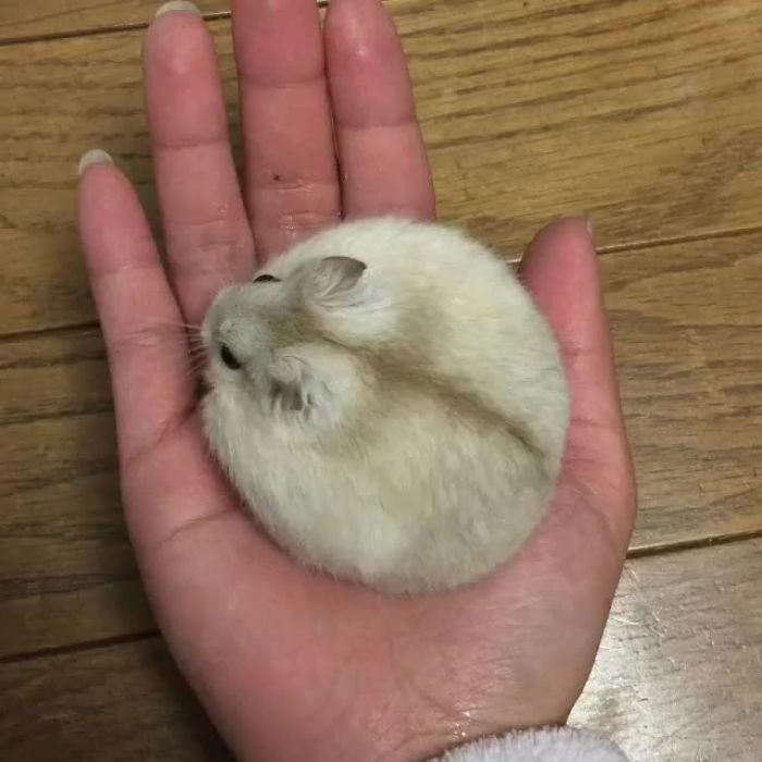 Perfectly Round Hamster