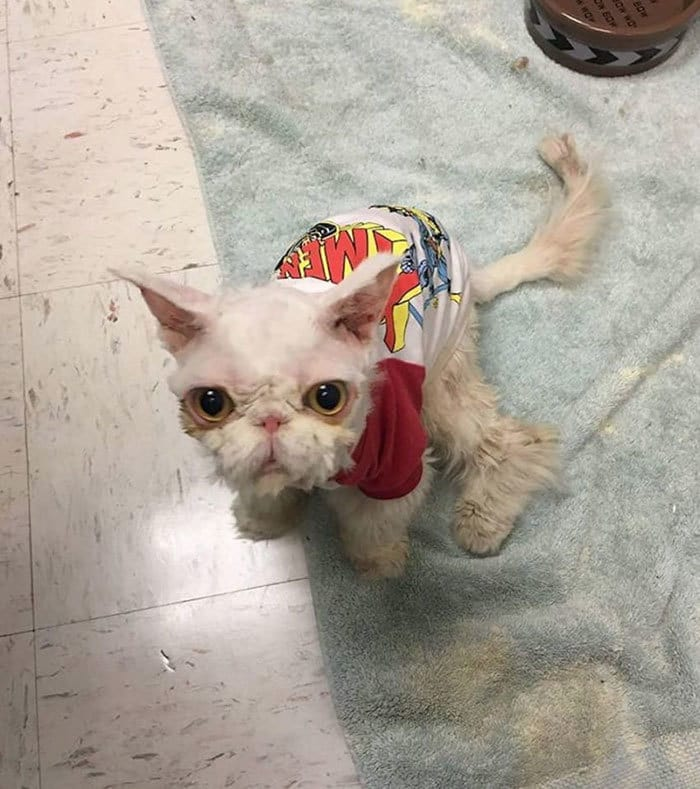 persian-cat-5-pound-fur-carpet-sinbad-3