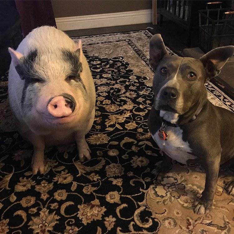 Pet Pig Piggypoo and Crew