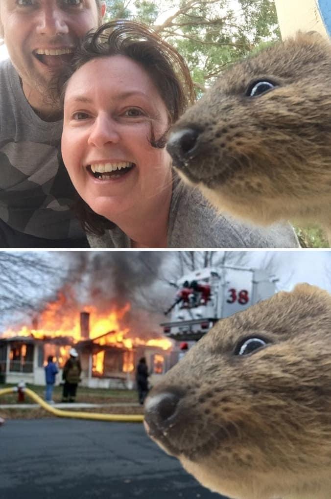 A Quokka Photobombing A Selfie
