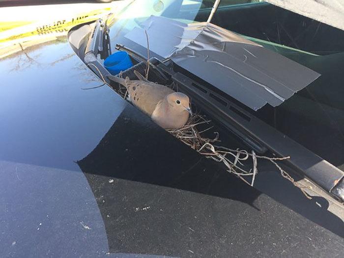 police-bird-umbrella-dove-nest-car-hood-parma-2