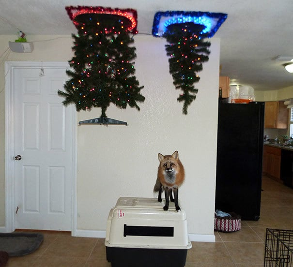 The Best Way I Could Put Up A Christmas Tree With A Fox In The House