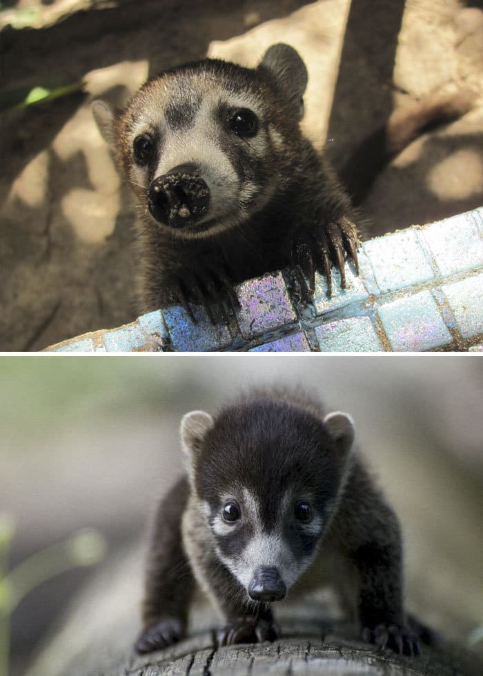 Baby White-Nosed Coati