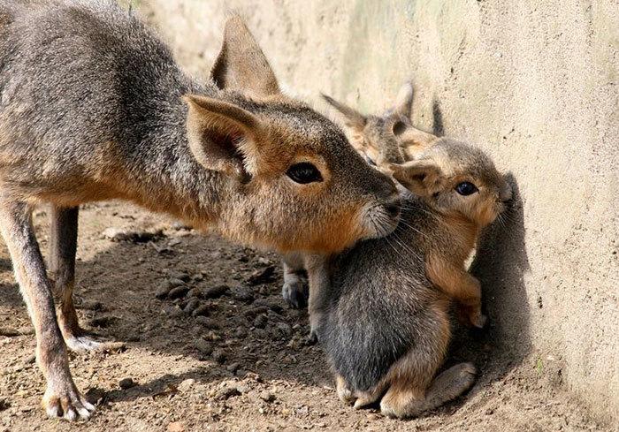 Patagonian Mara Babies