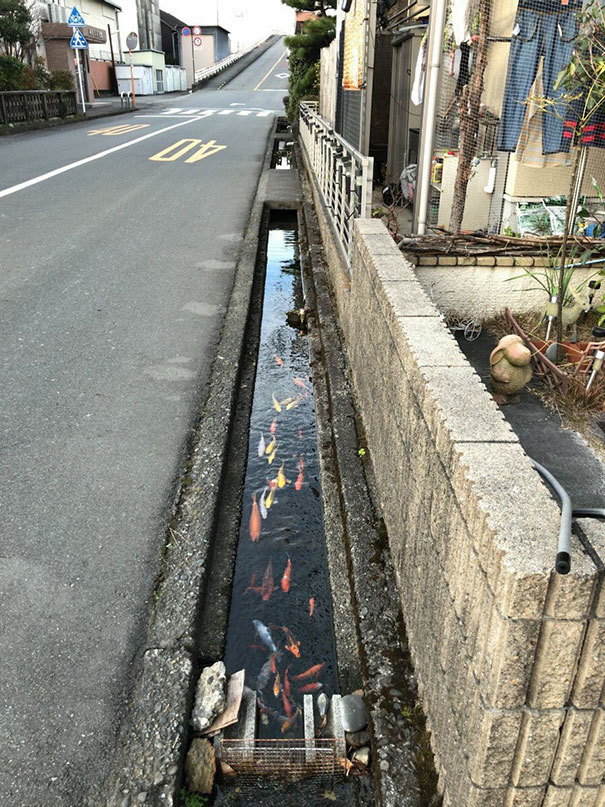Koi Fishes даже живут в каналах дренажа в Японии