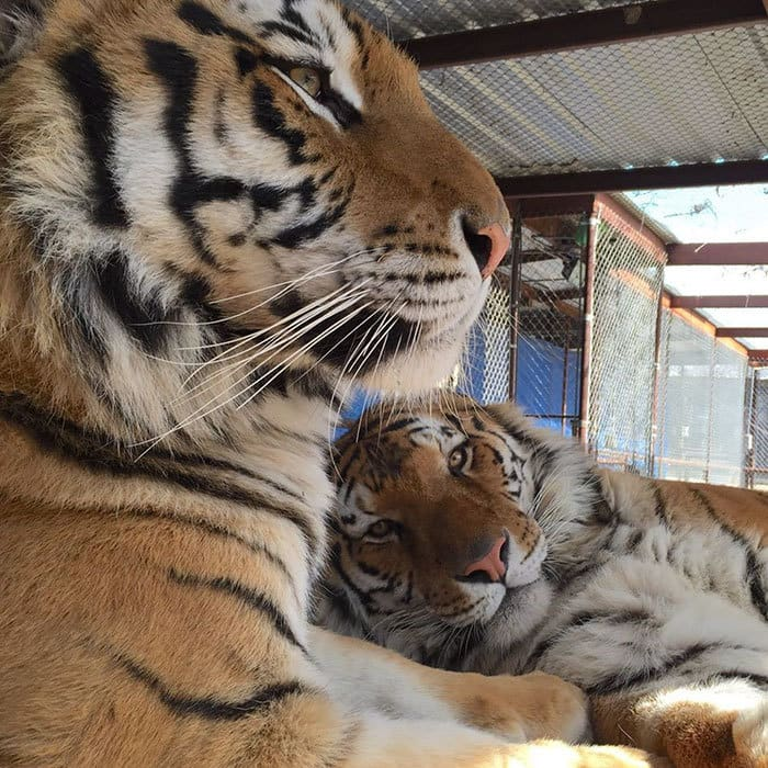 спасательно-тигр-утилизатора цирк-Aasha-10