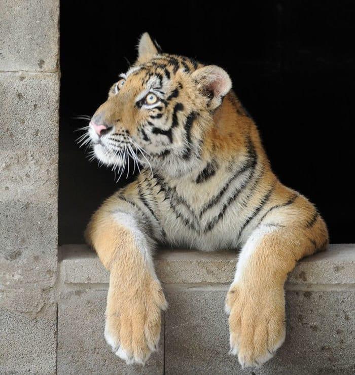 спасательно-тигр-утилизатора цирк-Aasha-13