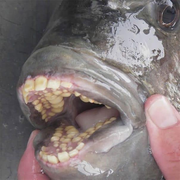 У рыбы из овчарки есть человекоподобные зубы
